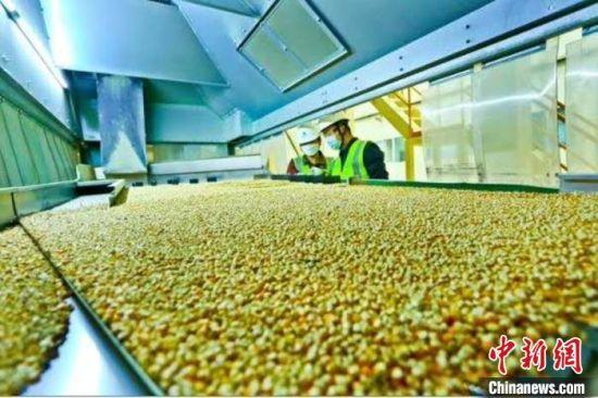 图为2月底,甘肃张掖的玉米制种全自动化生产线上,工作人员查看玉米良种的生产情况。