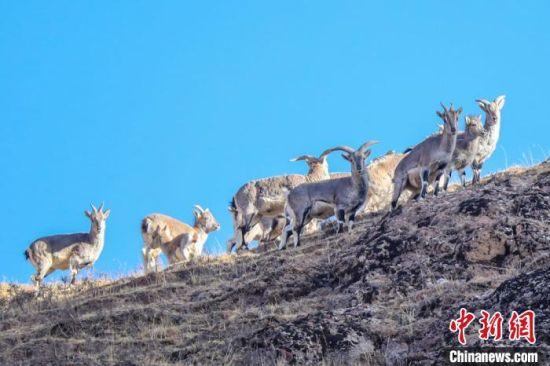 图为甘肃肃南祁连山区拍摄的普氏原羚(黄羊)