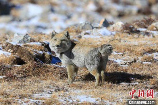 图为甘肃肃南祁连山区拍摄的断尾藏狐。