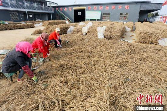 宁县春荣镇村民们正在对黄芪进行分类切片。