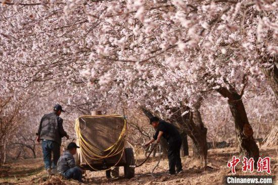 4月初,位于甘肃敦煌市鸣沙山下的千亩李广杏花竞相绽放。图为当地村民在杏花园劳作。