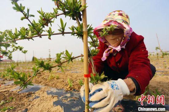 4月3日,在甘肃宁县谷和春农业农民专业合作社中药材种植基地内,务工人员正在修建金银花树。
