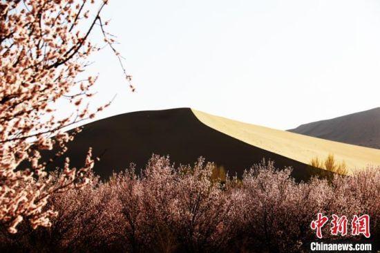 图为4月初,敦煌鸣沙山下盛开的杏花。