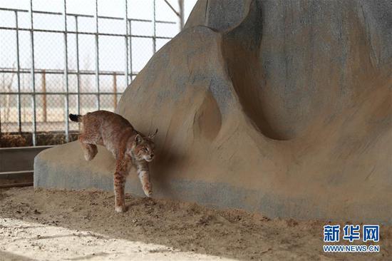 4月12日在阿克塞哈萨克族自治县野生动物救助站拍摄的被救助的猞猁。