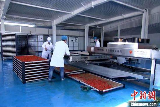 4月下旬,甘肃省酒泉市瓜州昊泰生物科技有限公司收集贫困户入股资金,用于新建冻干枸杞、枸杞果酱、枸杞口服液生产线。