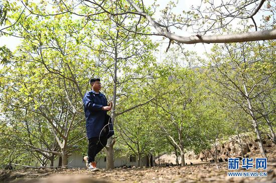 王磊从核桃种植园内走过(4月23日摄)。新华社记者 陈斌 摄