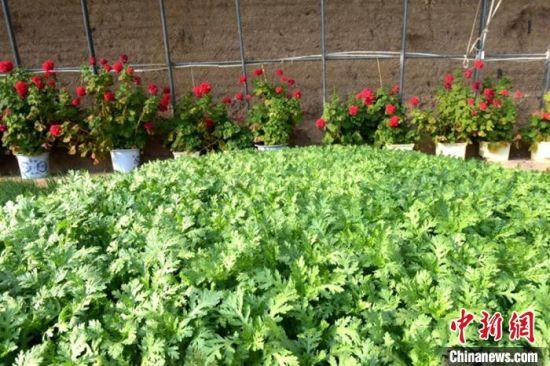图为5月上旬,甘肃榆中的高原夏菜长势喜人。