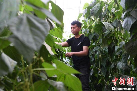 """蔬菜产业成为全镇促农增收的支柱产业,也是吸引大学生韩吉明毅然返乡的""""诱因"""",如今的他,当""""职业农民""""乐在其中。"""
