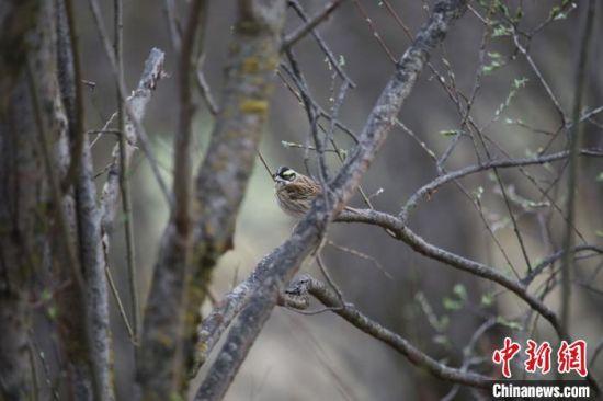 经查阅相关资料,确认其为雀形目鹀科的黄眉鹀雄鸟。
