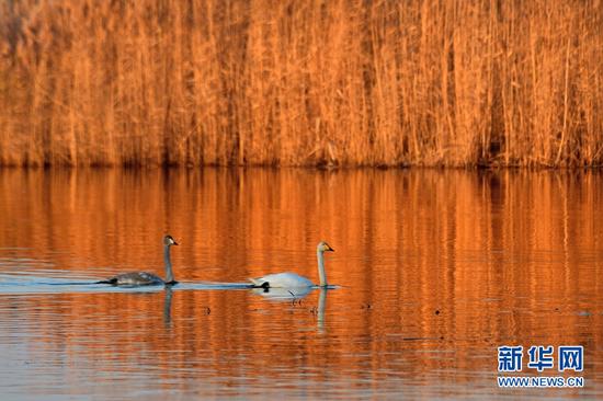 【大美甘肃】黑河湿地迎来大批越冬候鸟