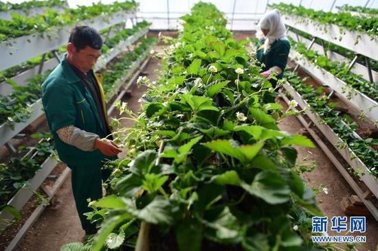 12月8日,工人在兰州新区现代农业示范园内查看草莓生长情况。新华社记者 陈斌 摄