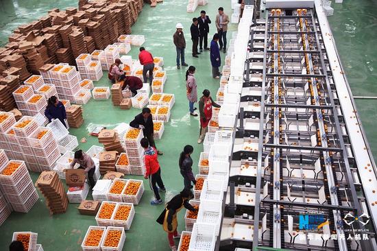 工人们在分选蜜橘。新华网发 黎兴旺 摄