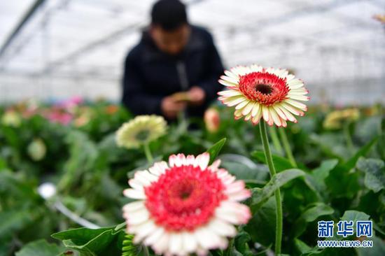 12月8日,工人在兰州新区现代农业示范园内查看花卉生长情况。新华社记者 陈斌 摄