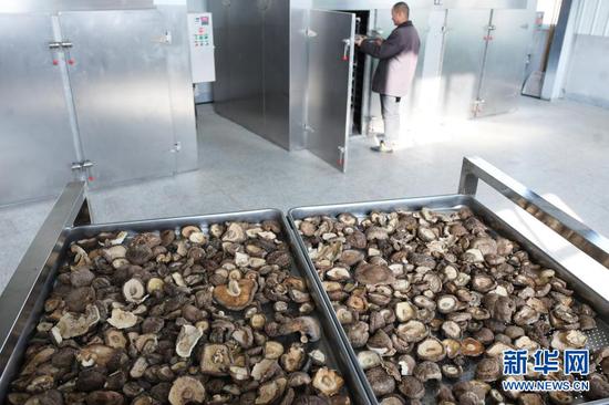 12月12日,工人在东乡族自治县那勒寺易地扶贫搬迁安置点后续产业园里加工香菇。新华社发(史有东 摄)