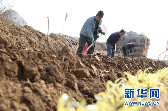 12月12日,村民用工具铲除韭黄根部的泥土。新华社记者 马莎 摄