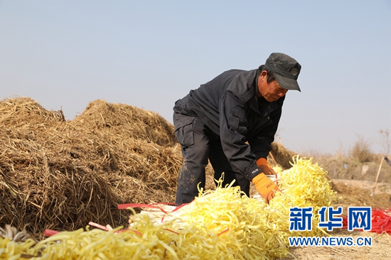 12月12日,村民将收割好的韭黄摆放整齐。新华社记者 马莎 摄