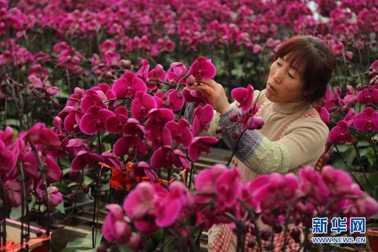 12月16日,甘肃省定西市临洮县三易花卉基地工作人员在整理蝴蝶兰。新华社发(王克贤 摄)