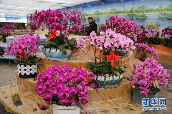 12月16日,顾客在甘肃省定西市临洮县三易花卉基地选购蝴蝶兰。新华社发(王克贤 摄)