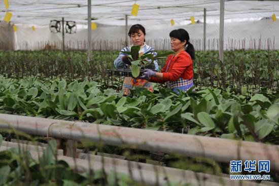 12月16日,甘肃省定西市临洮县三易花卉基地工作人员对蝴蝶兰进行日常管护。新华社发(王克贤 摄)