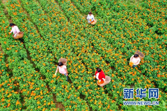 村民正在采摘万寿菊。