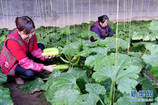 12月21日,工人在临夏县一农业园区的温室大棚内采摘蔬菜。新华社发(史有东 摄)