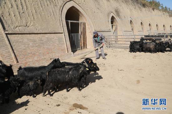 1月21日,在甘肃省庆阳市镇原县方山乡王湾村物宗园姚山黑种羊繁育专业合作社的一处窑洞养殖场内,工作人员任生德在打扫卫生。 新华社记者 马莎 摄