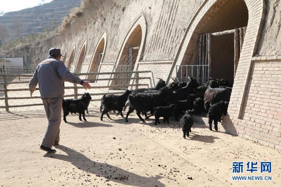 1月21日,在甘肃省庆阳市镇原县方山乡王湾村物宗园姚山黑种羊繁育专业合作社的一处窑洞养殖场内,工作人员任生德将羊赶进窑洞。 新华社记者 马莎 摄