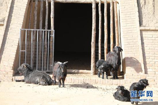 1月21日,在甘肃省庆阳市镇原县方山乡王湾村物宗园姚山黑种羊繁育专业合作社的一处窑洞养殖场内,羊在窑洞前晒太阳。 新华社记者 马莎 摄