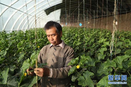 2月4日,在靖远县北湾镇新坪村,村民徐彦龙在大棚内管护黄瓜。新华社记者 马希平 摄
