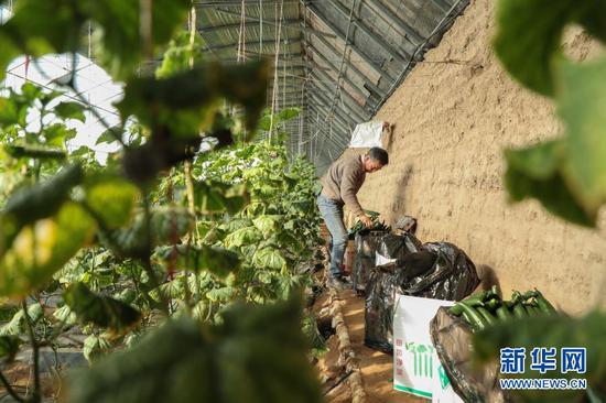 2月4日,在靖远县北湾镇新坪村,村民徐彦龙在大棚内把刚采摘的黄瓜装箱。新华社记者 马希平 摄