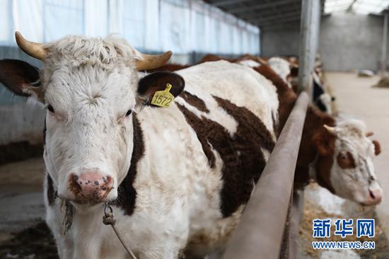 这是马永泽养的牛。新华社记者 郭刚 摄