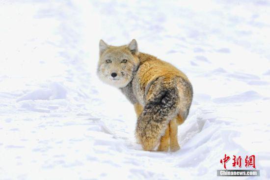 近日,在祁连山国家公园哈尔腾草原上拍摄到两只国家二级保护动物藏狐,一只慢悠悠走动,另一只躲在雪地里观望。