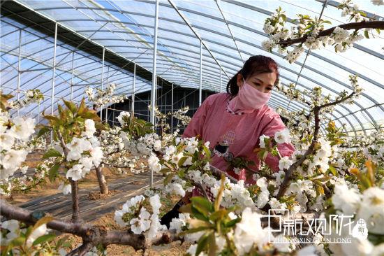 庆阳禾润种养殖农民专业合作社技术员在樱桃大棚中检查蜜蜂授粉情况 。