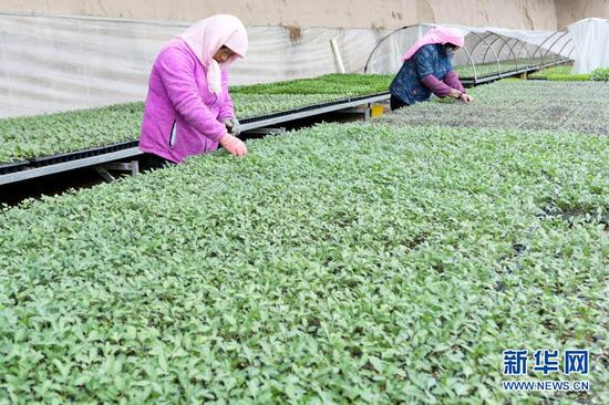 2月28日,甘肃省临夏回族自治州永靖县三塬现代农业园区的工人在管护蔬菜秧苗。新华社发(史有东 摄)