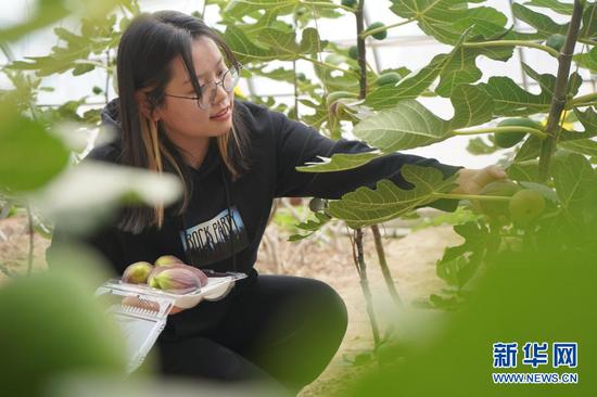 3月5日,一名游客在位于民勤县重兴镇红旗村的日光温室大棚采摘无花果。新华社记者 郎兵兵 摄