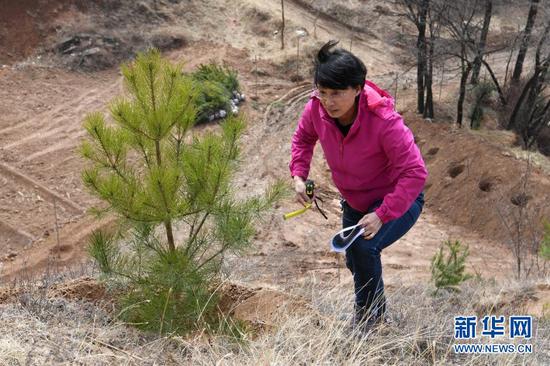 3月11日,在平凉市崆峒区白水镇焦庄村北山,张文玉爬上山坡前往造林区域。