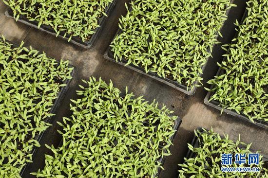 3月13日在酒泉市肃州区银达镇六分村的一家合作社育苗大棚内拍摄的蔬菜种苗。新华社记者 张智敏 摄