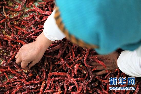 甘肃省甘南藏族自治州夏河县辣椒酱扶贫车间的工人正在挑拣辣椒。新华社记者张睿 摄