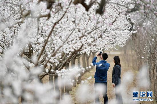 3月29日,两名游客在唐汪镇的杏园中赏花拍照。新华社记者 陈斌 摄