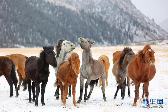 3月31日,在山丹马场,马群在风雪中嬉戏。新华社发(王超 摄)