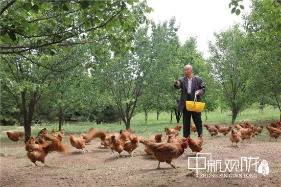 图为路涛的父亲照看鸡群。(资料图)