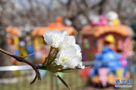 这是4月5日在皋兰县什川镇古梨园拍摄的梨花。新华社记者 范培珅 摄