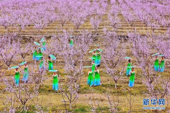 4月3日,金满园杏园种植基地里的《春之舞》。新华网发(王将 摄)