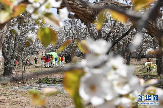 4月5日,游客在皋兰县什川镇古梨园游玩。新华社记者 范培珅 摄