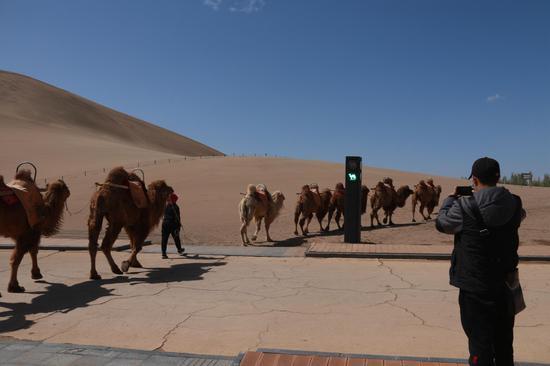 """2021年4月11日,甘肃省敦煌市鸣沙山月牙泉景区的交通信号灯""""绿骆驼灯""""亮时,农户牵着骆驼有序通过。"""
