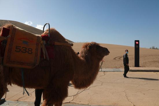 """2021年4月11日,甘肃省敦煌市鸣沙山月牙泉景区的交通信号灯""""红骆驼灯""""亮时,农户牵着骆驼有序等候。"""