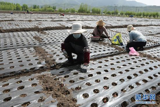 临夏县尹集镇农民在田里栽植葱苗(5月16日摄)。新华社发(史有东 摄)