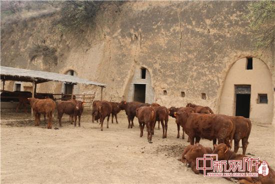 图为崇信红牛。