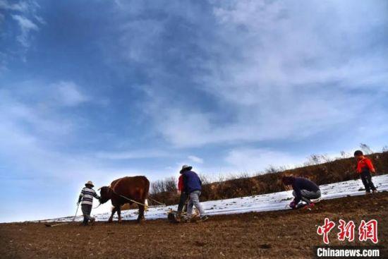 图为传统牛耕方式铺设地膜。