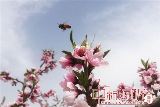 图为4月中旬兰州安宁桃花竞相开放。